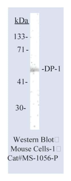 Lab Vision™ DP-1 Transcription Factor Ab-6, Mouse Monoclonal Antibody