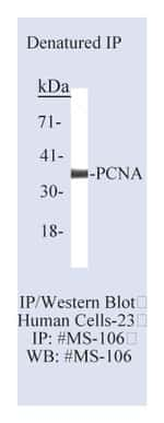 Lab Vision™ PCNA (Proliferating Cell Nuclear Antigen) Ab-1, Mouse Monoclonal Antibody