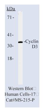 Cyclin D3 Ab-1, Mouse Monoclonal Antibody