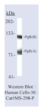 Lab Vision™ Progesterone Receptor Ab-8, Mouse Monoclonal Antibody