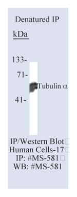 Lab Vision™ Tubulin-α Ab-2, Mouse Monoclonal Antibody