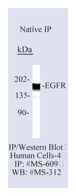 Lab Vision™ Epidermal Growth Factor Receptor/EGFR Ab-13, Mouse Monoclonal Antibody