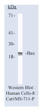 Lab Vision™ Bax Ab-1, Mouse Monoclonal Antibody