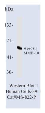 Lab Vision™ MMP-10 (Stromelysin-2) Ab-2, Mouse Monoclonal Antibody