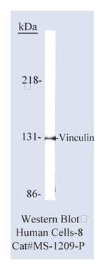 Lab Vision™ Vinculin Ab-1, Mouse Monoclonal Antibody