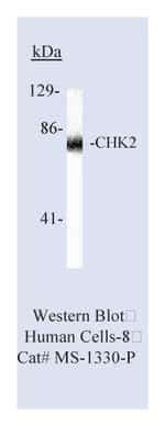 Lab Vision™ Chk2 Ab-1, Mouse Monoclonal Antibody