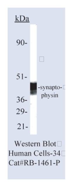 Lab Vision™ Synaptophysin Ab-4, Rabbit Polyclonal Antibody