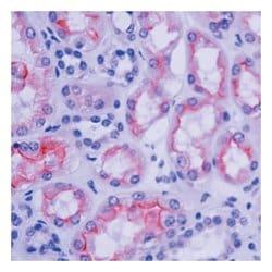 Villin Ab-1, Mouse Monoclonal Antibody