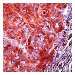 Lab Vision™ S100, Rabbit Polyclonal Antibody