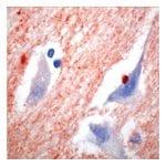 Synuclein α, Rabbit Polyclonal Antibody