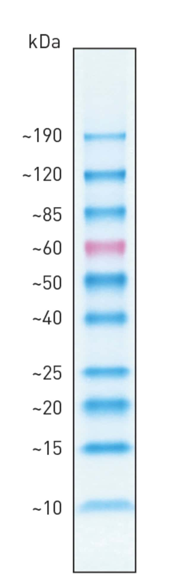 BenchMark Pre-stained Protein Ladder band profile