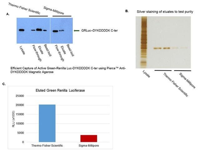 Efficient purification of DYKDDDDK-tagged green renilla luciferase