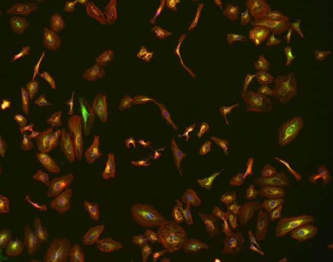 10X fluorescence image of HeLa cells with EVOS M7000 microscope