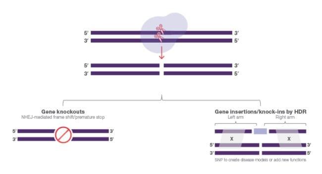 Engineered nuclease—various double strand repair pathways