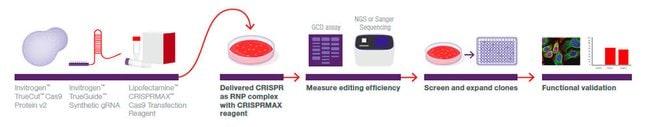 Standard gene editing workflow using CRISPR-Cas9 technology