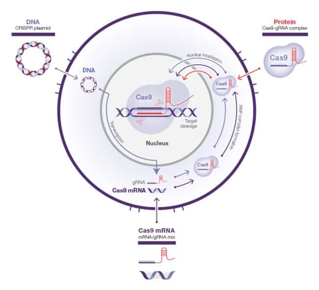 CRISPR RNP—streamlined editing and minimization of off-target events