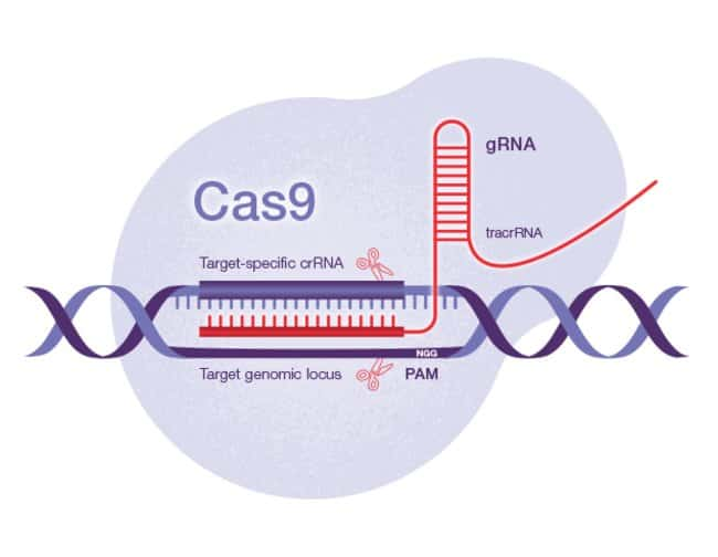 A CRISPR-Cas9 targeted double-strand break