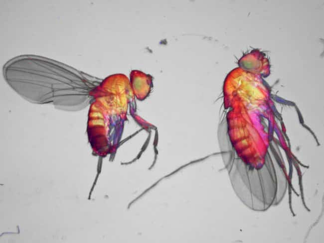 Fruit flies imaged on EVOS M5000