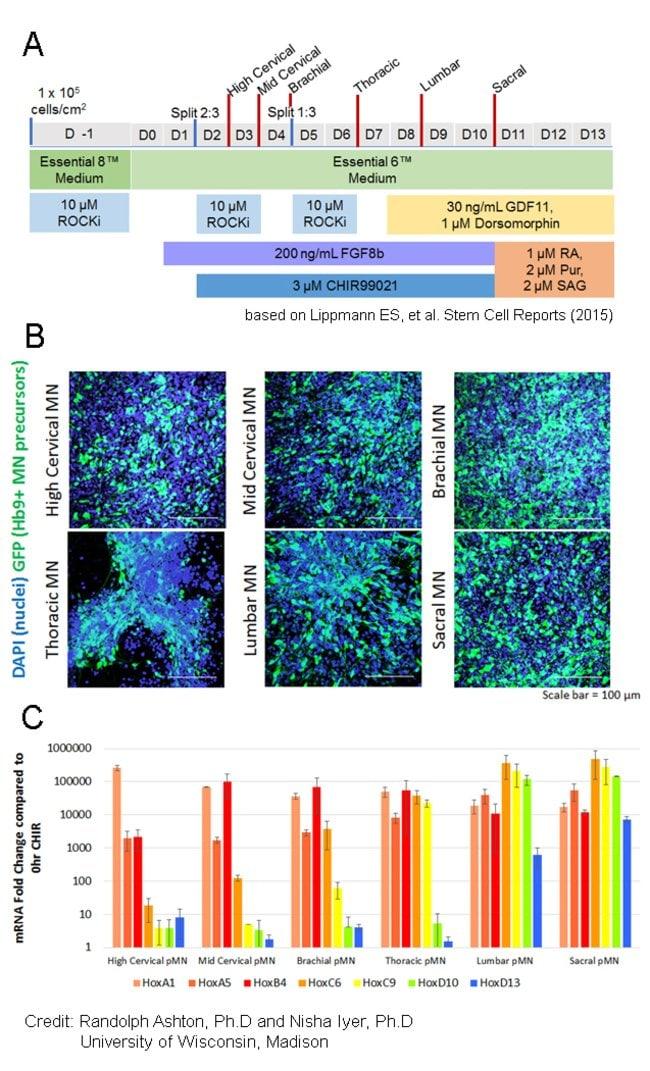 Motor neuron differentiation using Essential 6 Medium