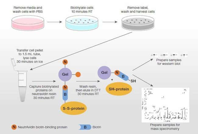 Protocol summary for the Cell Surface Protein Biotinylation and Isolation Kit
