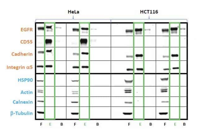 Western blot analysis of enriched cell surface proteins