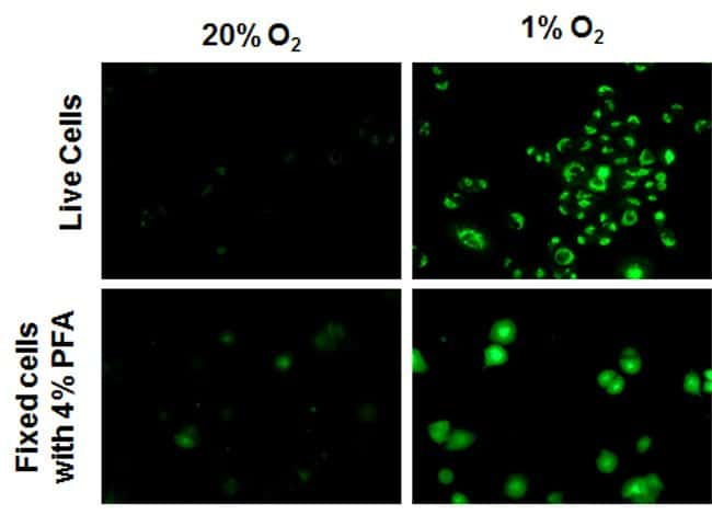 Fluorescence signal in HeLa cells under different oxygen  levels