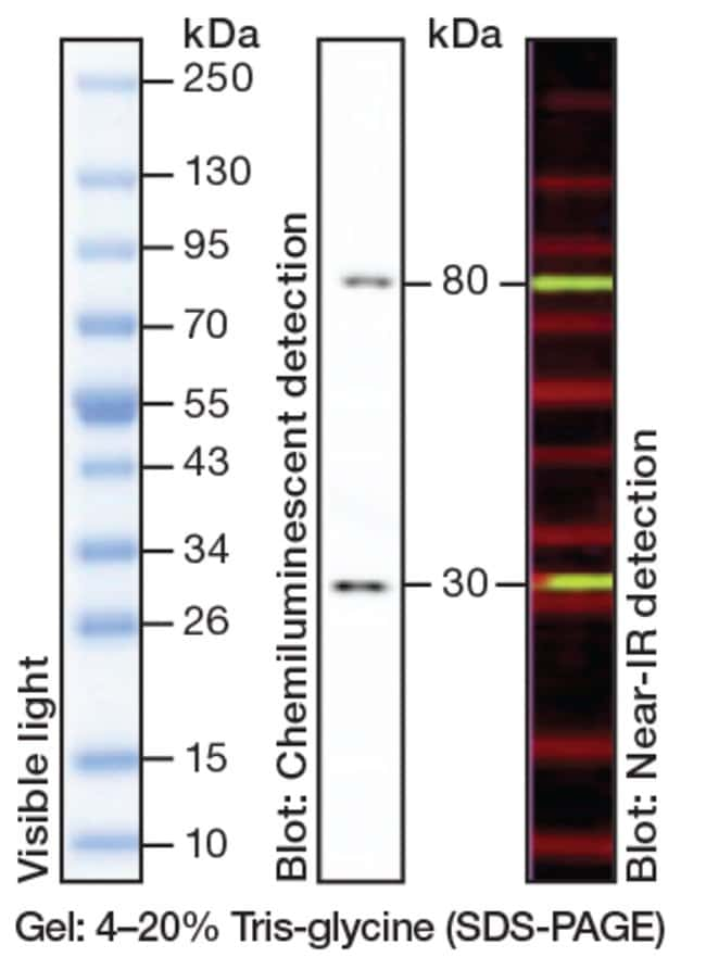 iBright Prestained Protein Ladder band profile