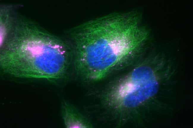 Multiplex labeling of HeLa cells