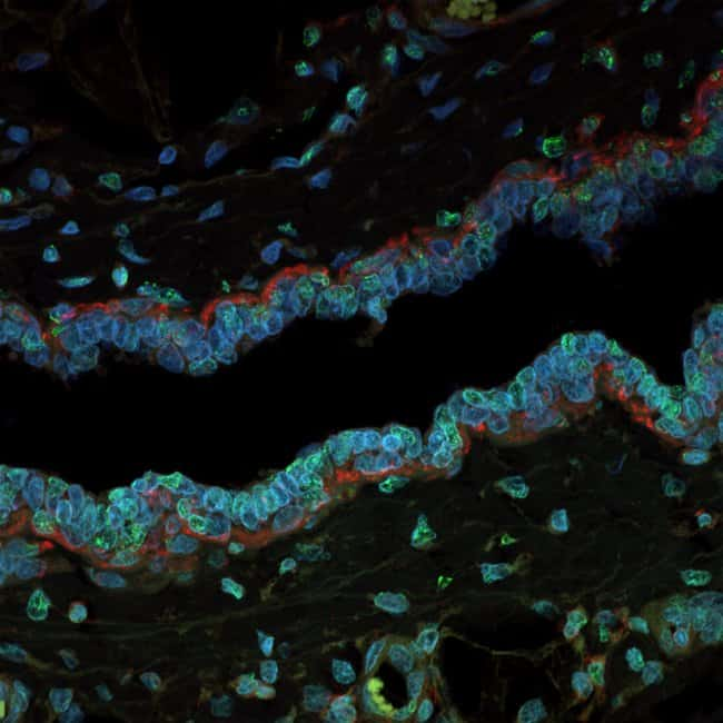 FFPE mouse mammary tissue mounted with Prolong Glass and imaged with a confocal microscope