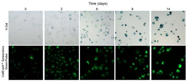 Reliable and consistent detection of senescent cells