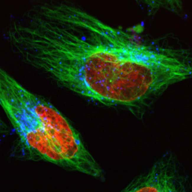 Multiplex image of  live HeLa cells