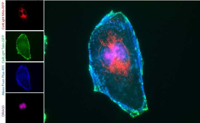 HeLa cells labeled with Alexa Fluor Plus 405 Phalloidin