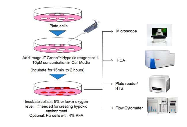 Workflow of Image-iT Green Hypoxia Reagent