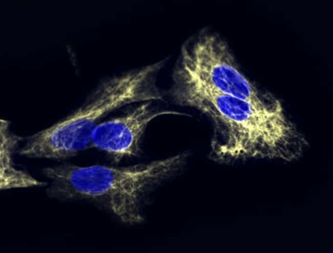 Immunofluorescence microscopy using DyLight 680 dye