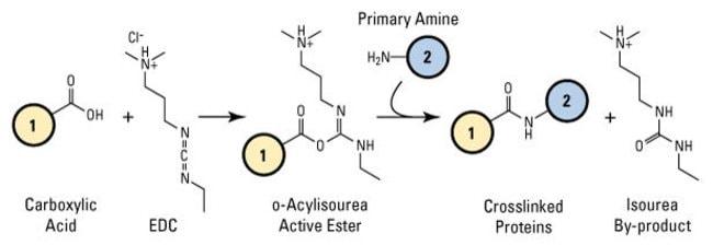 Reaction scheme for EDC crosslinking