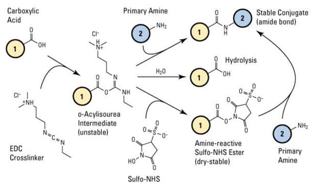 Sulfo-NHS plus EDC (carbodiimide) crosslinking reaction scheme