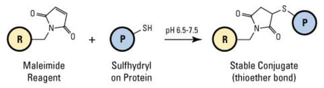 In this diagram, (R) represents the maleimide-activated peroxidase; (P) represents a protein or other molecule that contains the target functional group (i.e., sulfhydryl, –SH).