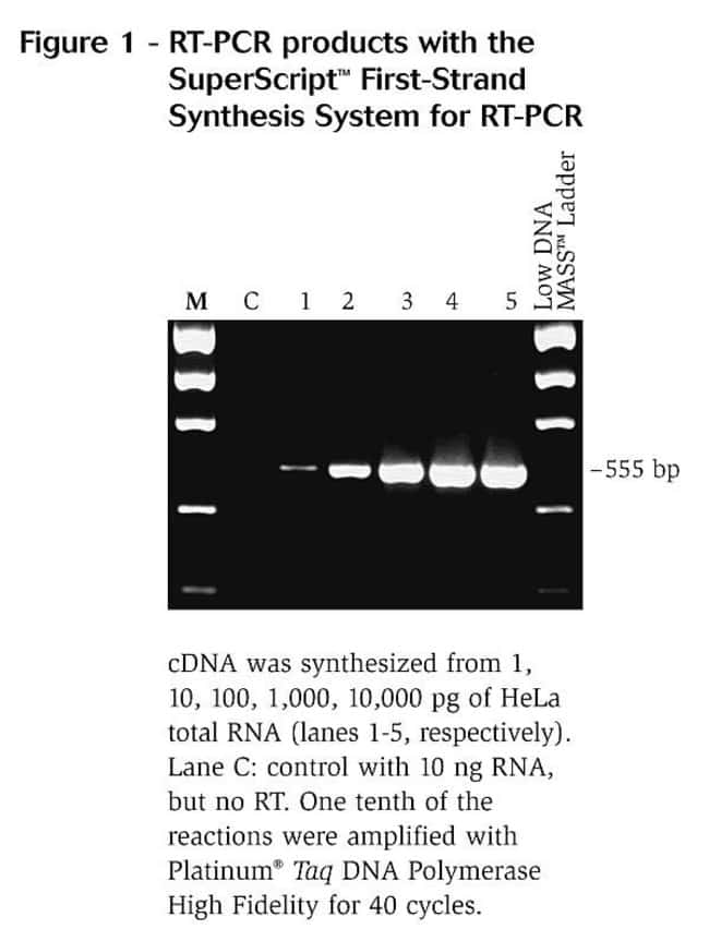 rt pcr products using the superscript first strand synthesis system for