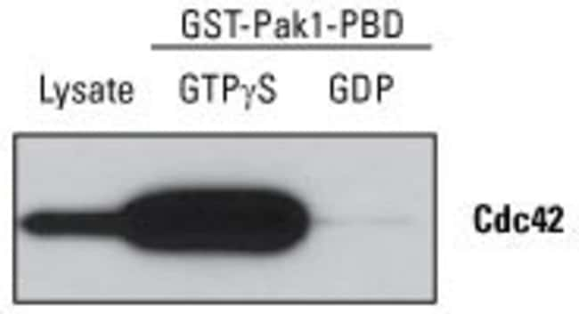 NIH 3T3 cell lysate was treated with GTPγS (activator) or GDP (inactivator). Active Cdc42 was enriched by pull-down assay. Half of each eluate (25µL) and 40µg of total lysate were analy