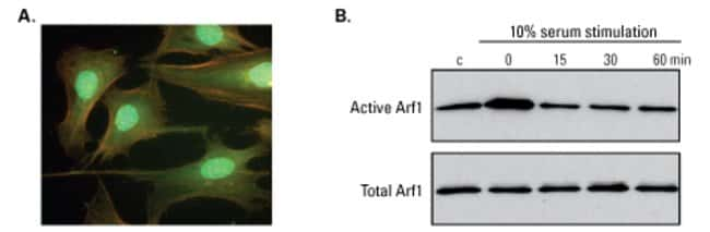 Arf1 is active during serum starvation and associated with actin filaments