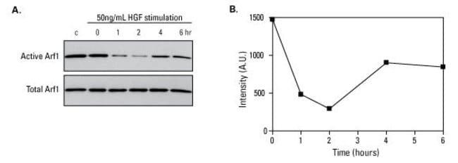 Arf1 response after hepatocyte growth factor (HGF) stimulation