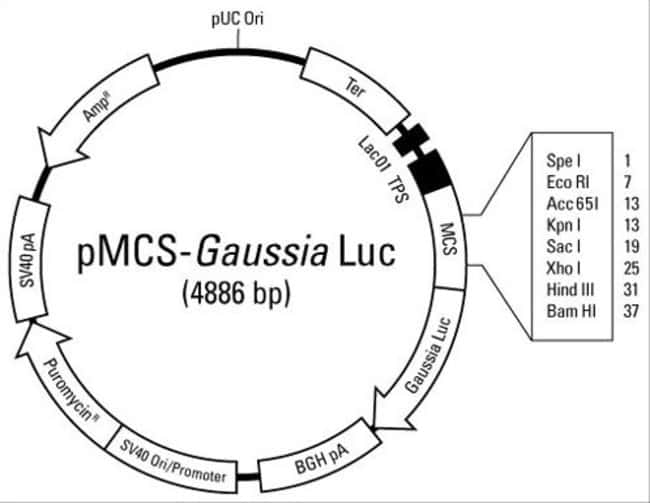 Plasmid map of the pMCS-<em>Gaussia</em> Luc Vector
