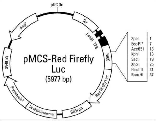 Plasmid map of the pMCS-Red-Firefly Luc Vector