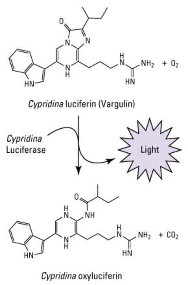 <em>Cypridina</em> luciferase reaction