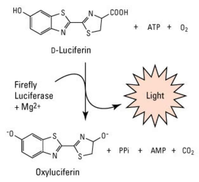 Firefly luciferase reaction