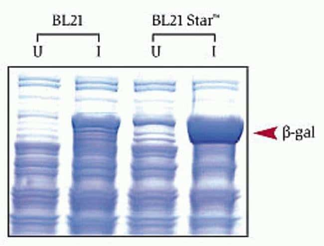 Induction of beta-galactosidase in BL21 and BL21 Star™ <i>E. coli</i>