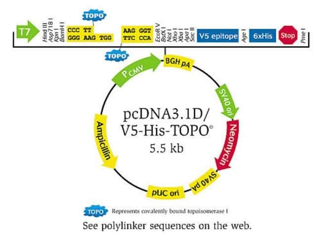 pcDNA3.1D/V5-His-TOPO® vector.