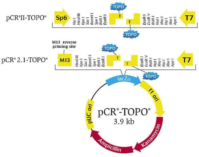 TOPO® TA Cloning® Kits contain the popular pCR™2.1 TOPO® TA vector. TOPO® TA Cloning® Kits with Dual Promoter contains pCR™II TOPO® TA vector that allows subsequent in-vitro transcription following cl