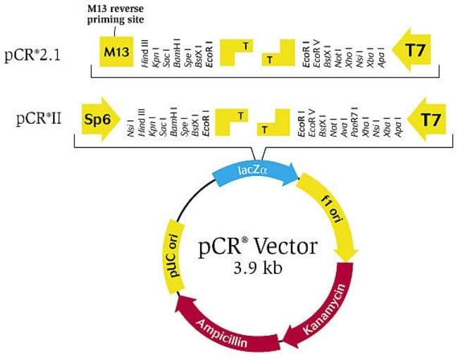 pCR® vector
