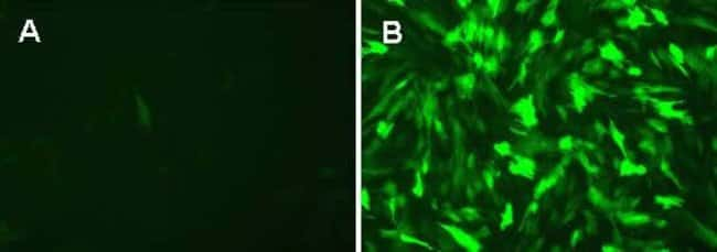 Transduction of adipocytes-derived stem cells (ADSC) with BacMam GFP 1.0 (A) and BacMam GFP 2.0 (B) under equivalent conditions.